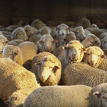 Sheep Livestock Auctions Photo